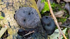 Coal fungus on a fallen branch (Dave_A_2007) Tags: kingalfredscakes coalfungus crampballs fungus nature stratforduponavon warwickshire england