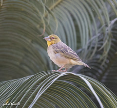 Village weaver (johnthistle) Tags: 100400mm canon handheld weaver palm africa thegambia ngc