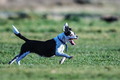 here boy! (Paul Wrights Reserved) Tags: dog cute running action full tongue sprint flying mammal pet