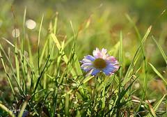 January Backlight ... (MargoLuc) Tags: winter sunlight meadow grass green daisy white flower bokeh yellow first