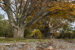 2017-10-22_11-34-10 Autumn Leaves (canavart) Tags: autumn princeedwardcounty ontario canada lakeontario lakeshore maple mapletree leaves fall