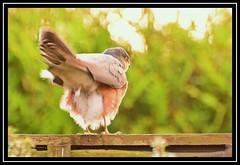 """BOMBS AWAY...!!!"" ;-DDD (NikonShutterBug1) Tags: nikond7100 tamron70300mm birds ornithology wildlife nature spe smartphotoeditor bokeh sparrowhawk accipiter"
