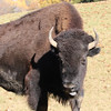 Bison with tongue out...6O3A3618W (dklaughman) Tags: bison virginia safari park