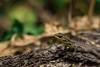 Lagartijeando (r.hayvar) Tags: lagartija lizard sun sol animal nature naturaleza tree árbol tronco green verde colors colores flora fauna olmue chile garden jardin woods bosque macro zoom details skin piel