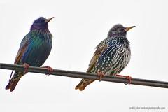"Starlings_01 (DonBantumPhotography.com) Tags: wildlife nature birds animals starling buttecounty ""donbantumphotographycom"" ""donbantumcom"" ""nikon d7200"" ""afs nikkor 200500mm f56e ed vr"""