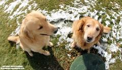 Bear & Izzy (Joseph Giordano Photography) Tags: golden retriever animals outdoors snow dogs farm playing cute photography