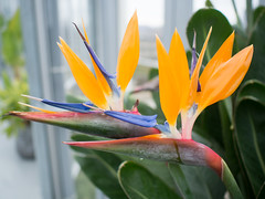Bird of Paradise at Zoku (decidedlyodd) Tags: amsterdam birdofparadise flower zoku