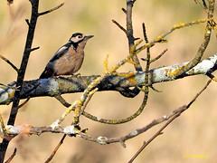 Pico picapinos (Dendrocopos major) (10) (eb3alfmiguel) Tags: aves pájaros carpintero piciformes picidae pico picapinos dendrocopos major