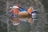 Mandarin Duck (little mester.) Tags: abbeydale colour mandarinduck sheffield tyzacksdam
