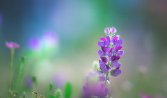 Lupins (Dhina A) Tags: sony a7rii ilce7rm2 a7r2 samyang 135mm f20 f2 samyang135mmf20 bokeh bokehlicious smooth soft creamy lupins flower
