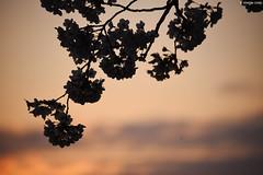草加市・綾瀬川 | Ayase river・Soka city (Iyhon Chiu) Tags: sun sunrise 綾瀬川 草加市 saitama japan 日本 埼玉県 琦玉 tree blossom flower ソメイヨシノ サクラ 春 さくら 桜 櫻花 櫻 sakura cherryblossom spring