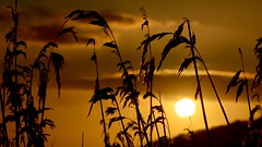 Silhouetted Grass (_J @BRX) Tags: silhouette grass sun sunset gold yellow orange black rspb leightonmoss january2018 lancashire england uk winter reeds nikon d5200