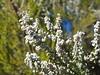 White Heather / Erica Branca (rgrant_97) Tags: portugal interior pinhal pedrógãogrande cabril barragem reservoir olympus stylus1