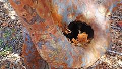 Angophora costata_2 (Tony Markham) Tags: angophoracostata sydneyredgum rustygum smoothbarkedapple walk spectacular flatrock royalnationalpark trek stunning rockformation rockformations rock sandstone cave overhang nationalpark nasho amazing climb