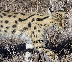 serval, Madikwe, North West Province, South Africa