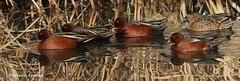 IMG_6938 (Bird Searcher) Tags: cinnamon teal