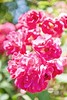 pink bush rose (hueymilunz) Tags: nz newzealandtransition newzealand florafauna green pink colour life bokeh