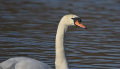 A Mute Swan (dracolady1) Tags: dslrcamera nikond5300 tamron150600mmlens antonlakes andover water wildbirds muteswan hampshire uk lightroom5