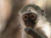 Vervet monkey (dunderdan77) Tags: vervet monkey portrait kruger national park south africa nature wildlife safari nikon tamron fur eye hand ear
