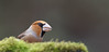 en mode furtif (guiguid45) Tags: nature sauvage oiseaux bird passereaux forêt loiret d810 nikon 500mmf4 passériformes grosbeccassenoyaux hawfinch coccothrausrescoccothrausres affût