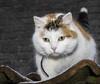 Hana sur le toit (giloudim) Tags: chat hana toit exterieur neige tuiles