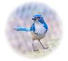 In Memorie. (Omygodtom) Tags: nikkor nikon70300mmvrlens texture scrubjay bokeh bird nature nikon dof d7100 contrast digital usgs ngc wild wildlife yahoo google held death