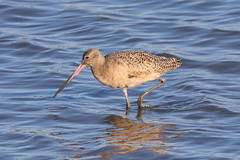 Marbled Godwit (IMG_6829) (jasontanner) Tags: arrowheadmarsh bird shorebird marbledgodwit
