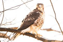 Backlit Hawk (brendon_curtis) Tags: canon 7dmkii eos usm 500mm f4l is 14xiii 14x iii lens super telephoto nature natural raptor birds prey bird flight sky