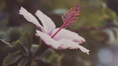 Hope X (Vincent Monsonego) Tags: sony α αlpha alpha ilce7rm2 a7rii a7r2 sonyalphadslr sonyalpha fe 2470mm f28 gm 2470mmf28gm sel2470gm pink flower macro