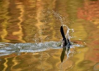 Kormoran auf Fischfang