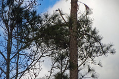 Trees. (dccradio) Tags: lumberton nc northcarolina robesoncounty outside outdoors nature natural beauty scenic tree trees cloud clouds whiteclouds sky bluesky morning goodmorning sticks branches treelimbs treelimb treebranch treebranches canon powershot elph 520hs