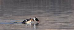 RBME02 (HallieDaly) Tags: ythan estuary scotland united kingdom birds ornithology merganser redbreasted goo sander common eider seal wildlife