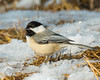 Ice Dancing... (ragtops2000) Tags: chickadee blackcapped winter ice water food foraging searching small compact tuxedo light catch colorful melt warmer dining