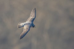 Peregrine in Flight (Phil Gower Bird Photography) Tags: peregrine falcon bird prey