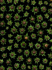 58738.01 Inula helenium (horticultural art) Tags: horticulturalart inulahelenium inula flowerbuds pattern mosaic