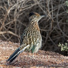 Greater Roadrunner (Ed Sivon) Tags: america canon nature lasvegas wildlife wild western southwest desert clarkcounty clark vegas bird henderson nevada preserve