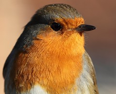 Robin (kwaklog) Tags: robin bird macro eye feathers orange red breast beak