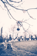 Paganism Around The Rollright Stones - Pomanders Hanging From The Trees (Peter Greenway) Tags: megaliths wicca flickr witchcraft rollright stonecircle wiccan tangerine oxfordshire pagan neolithic wintersunset rollrightstonecircle paganism pomanders ribbons therollrightstones