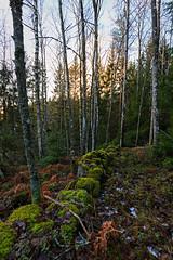 Old Stone Wall (Khanghoang2003) Tags: 2017 canonef1635f4lisusm canoneos6d färgelanda gärdsgård kullberg landskap mossa natur skog träd vinter lillesäter västragötalandslän sverige se