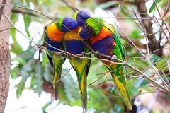 Rainbow Lorikeet (Patrick Semmler) Tags: rainbow lorikeet