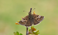 Dingy Skipper (Erynnis tages). (Bob Eade) Tags: dingyskipper erynnistages butterflies butterfly spring skipper seaford eastsussex southdownsnationalpark hawthorn downland wildlife nature insect lepidoptera grassland macro nikon