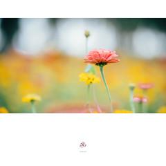 花田 (楚志遠) Tags: 楚志遠 凍先生 nikon sigma 135mm f18 art 路 天空 公園 樹 草 原野