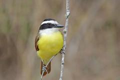 Great Kisskadee (Alan Gutsell) Tags: texasbirds texas wildlife nature alan southtexasbirds south mexico bird birding flycatcher great kisskadee greatkisskadee riogrande