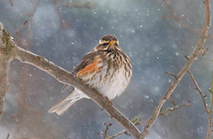 Redwing in the snow (badger2028) Tags: redwing snow branch tree