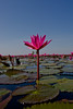 red lotus sea_312 (snappitt photography) Tags: redlotussea redlotusthailand red lotus sea udon thani