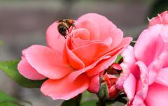 Vacances_0333 (Joanbrebo) Tags: riquewihr grandest francia fr alsace hautrhin flors flores flowers fleur fiori rosa rose blumen blossom nature naturaleza natura canoneos80d eosd efs1855mmf3556isstm autofocus greatphotographers