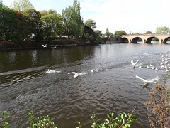 Worcester, swans (PandaGelnor) Tags: worcester swans bridge river flying flight birds water