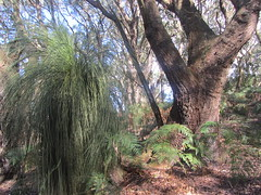 A Variety of Trees in the woods, Waratah Lodge, Fish Creek. (d.kevan) Tags: trees treetrunks plants grasstrees undergrowth australia victoria gippsland waratahlodge fishcreek