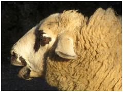 Mouton des Grisons (v8dub) Tags: mouton noir spiegelschaf schaf sheep schweiz suisse switzerland bern zoo animal natur nature tier tierpark