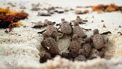 Hawksbill Sea Turtle (G_Plaza) Tags: turtle tortuga carey eretmochelysimbricata sea ocean oceano nikond7100 nikonphotography nikon puertorico conservancy sand hawksbillseaturtle